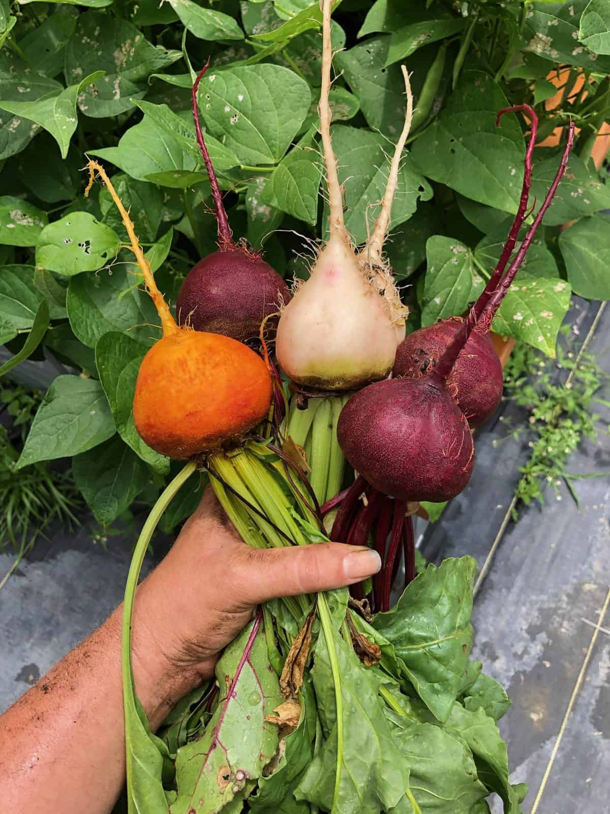 A hand holds several different colors of beets. They have just been harvested, and dirt clings to the vegetables.