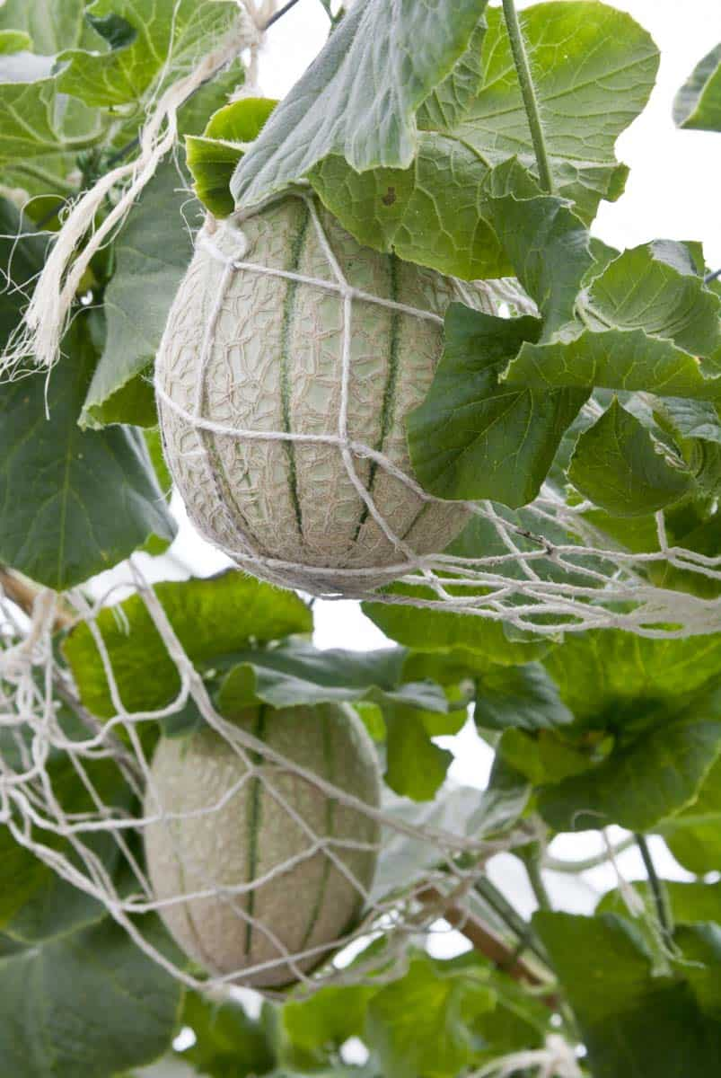 Twine nets support cantaloupe melon growing on a trellis.
