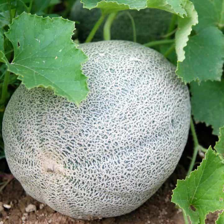 Close up of a cantaloupe melon growing on a vine.