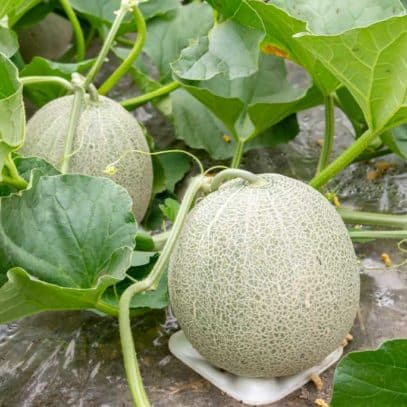 Nearly ripe cantaloupe are growing in a patch of plants. The front melon rests on a piece of styrofoam to lift it off the soil.