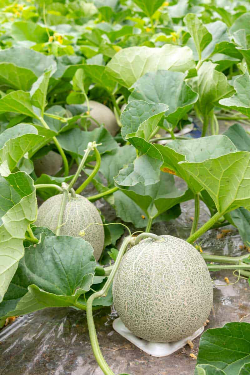 How To Grow Cantaloupe 6 Growing Tips Growfully