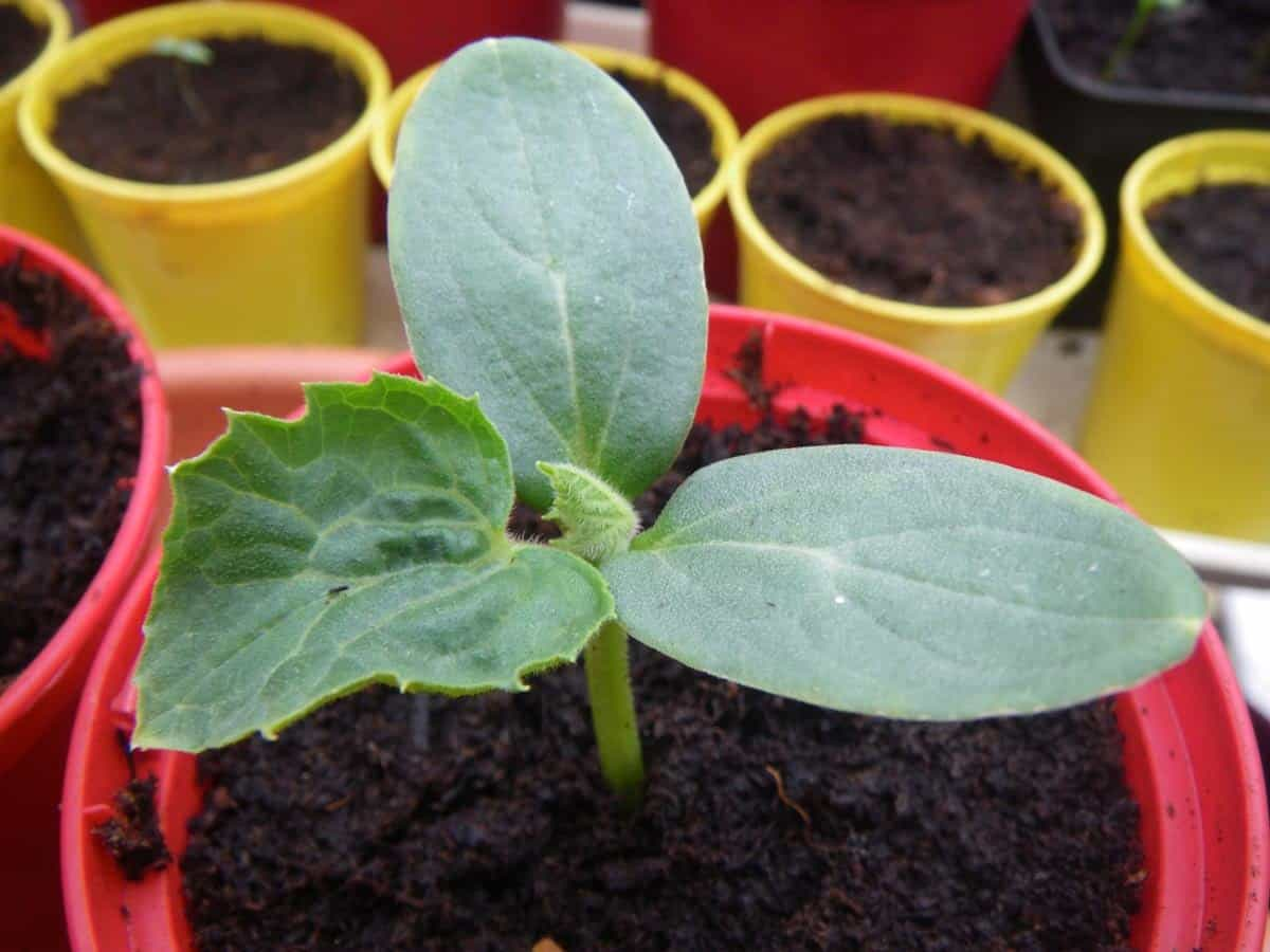 A young cantaloupe seedling is in a red plastic pot.
