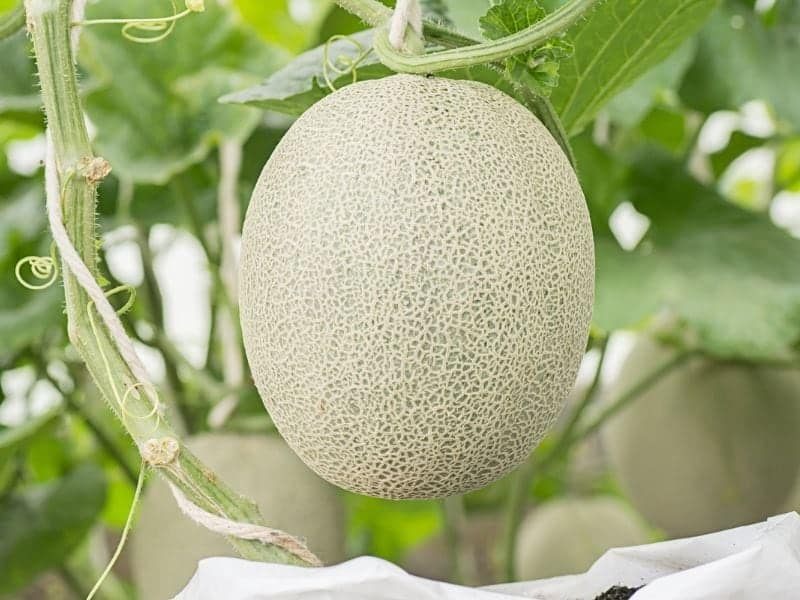 Close up view of a ripe cantaloupe still attached to the vine.