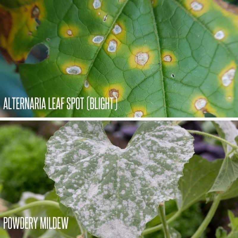 Two common diseases for melon plants are pictured: leaf spot blight and powdery mildew