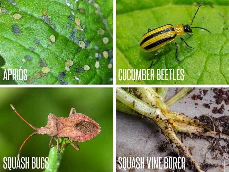 Four common pests of melon plants presented in a grid: aphids, cucumber beetles, squash bugs, and squash vine borers.