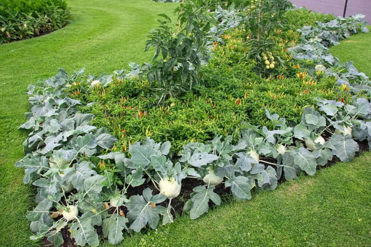 Close up of edible landscaping in a yard.