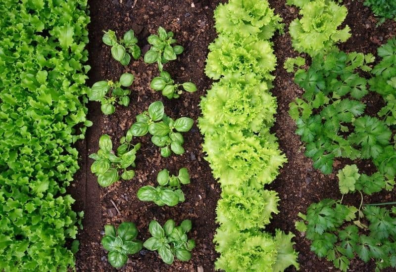 Rows of greens and herbs grow in a garden.