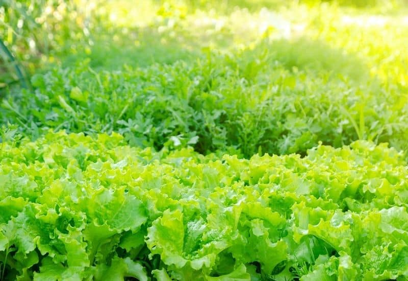 Rows and rows of lettuce in a sunny garden location.