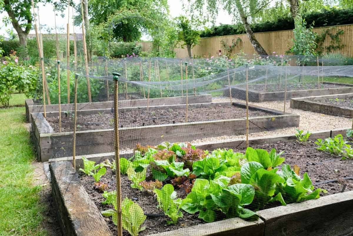Raised beds are fenced in to keep out critters.