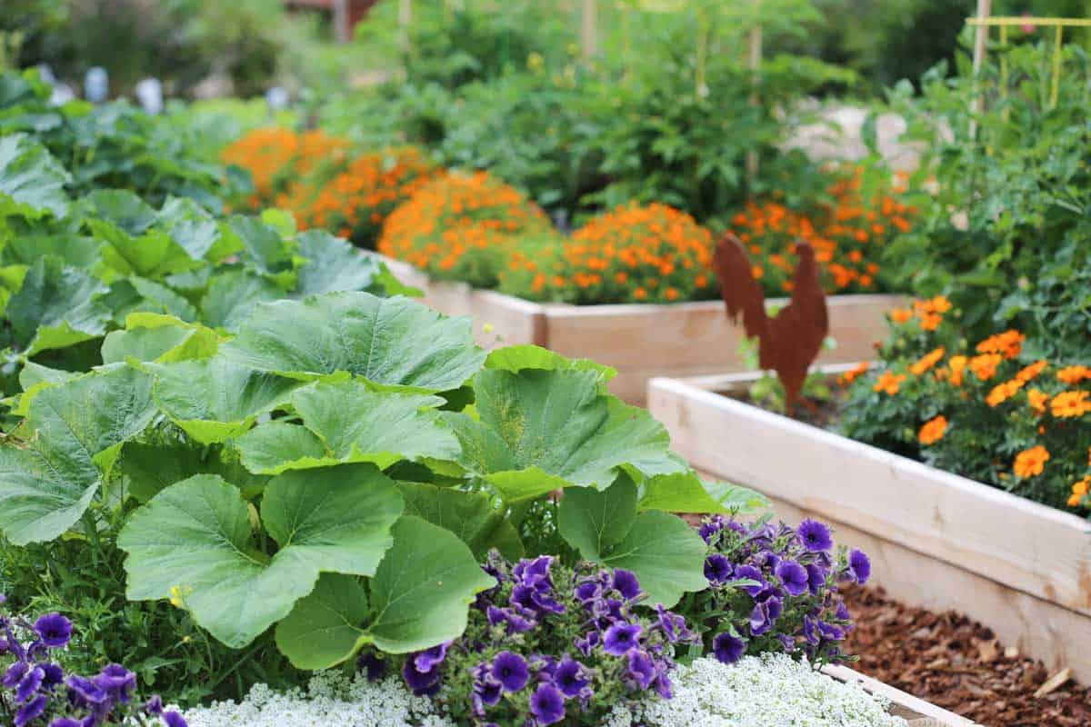 Close up of vegetables growing in raised garden beds.