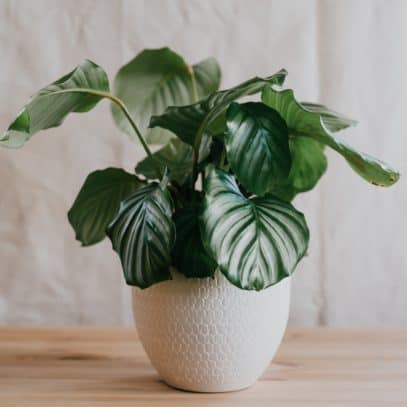 Calathea plant in a white pot on a wooden tabletop