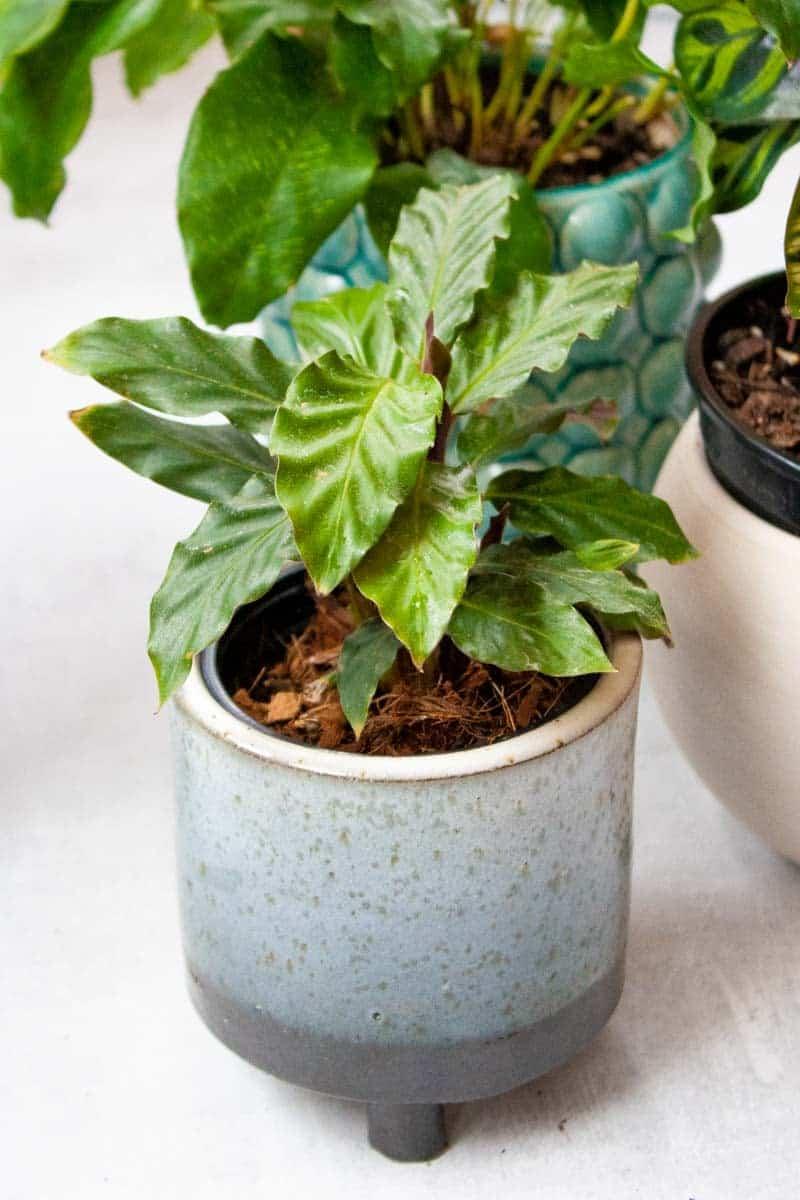 Calathea Rufibarba in a small grey pot