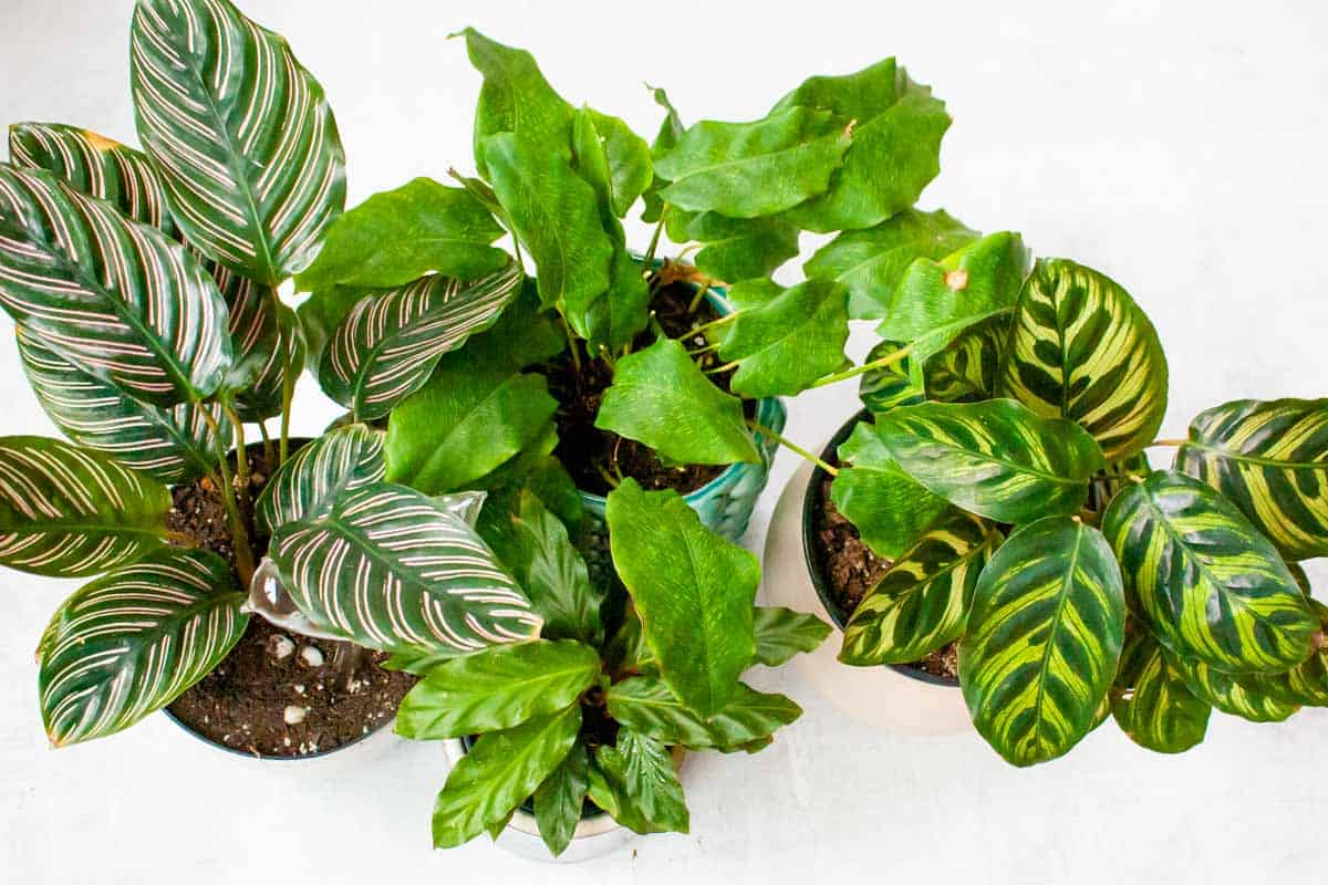A cluster of various calathea plants in containers.