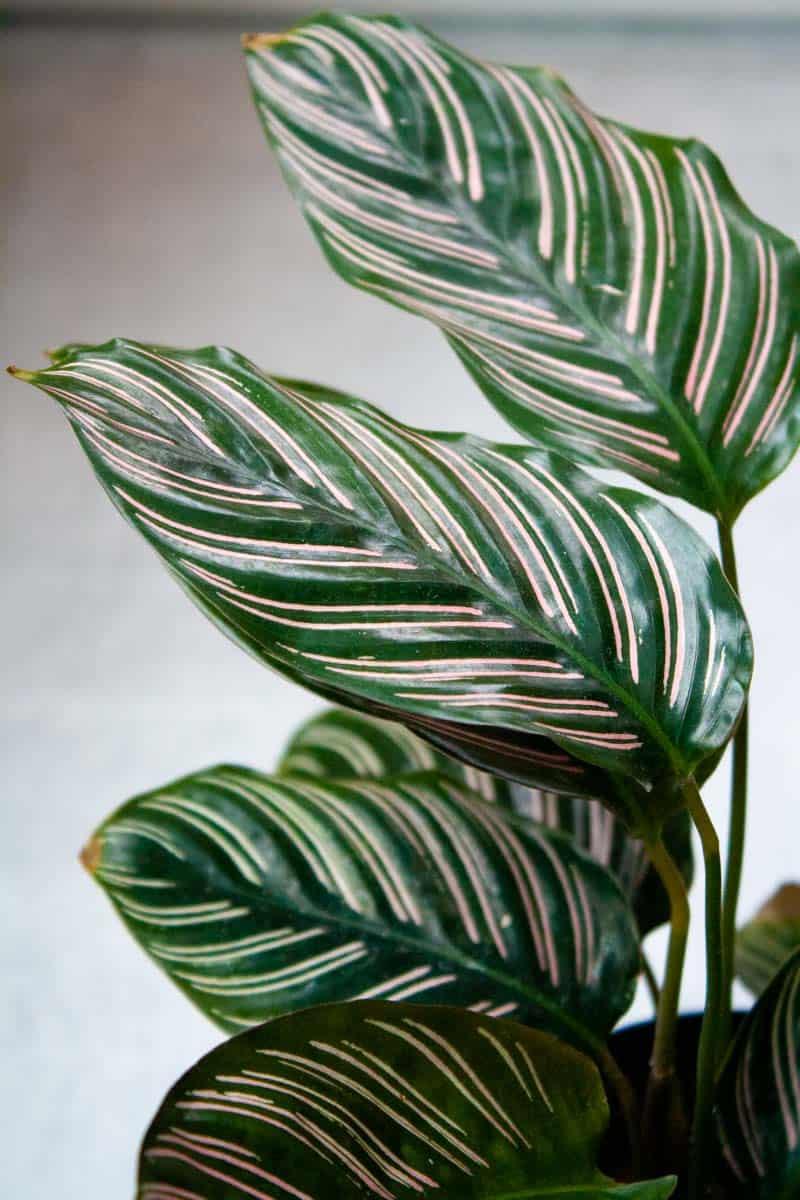 Pink-striped calathea ornata leaves