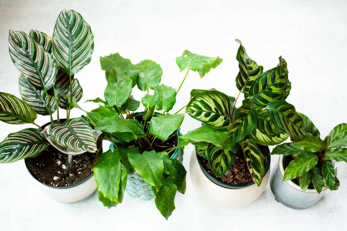 Four varieties of calathea are lined up in a row.