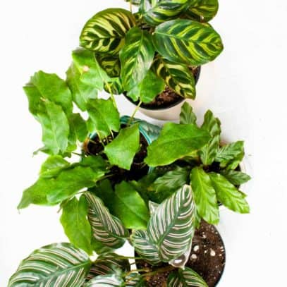 Overhead of four varieties of calathea lined up in a row.