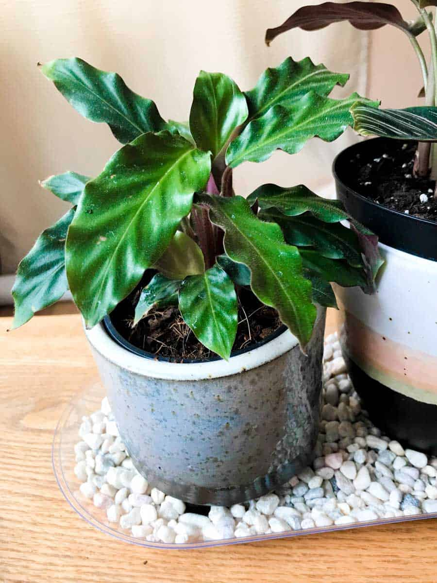 A calathea rufibarba in a grey container sits on a pebble tray.