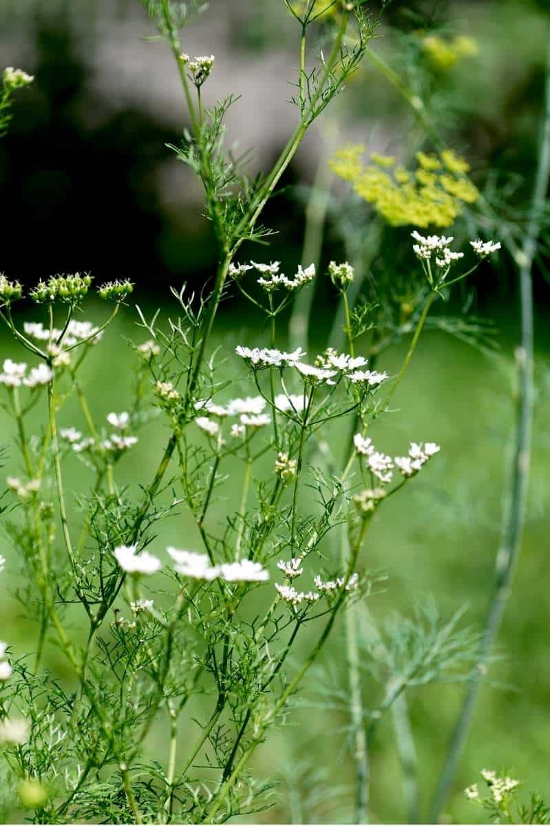 White flowers on a bolting cilantro plant
