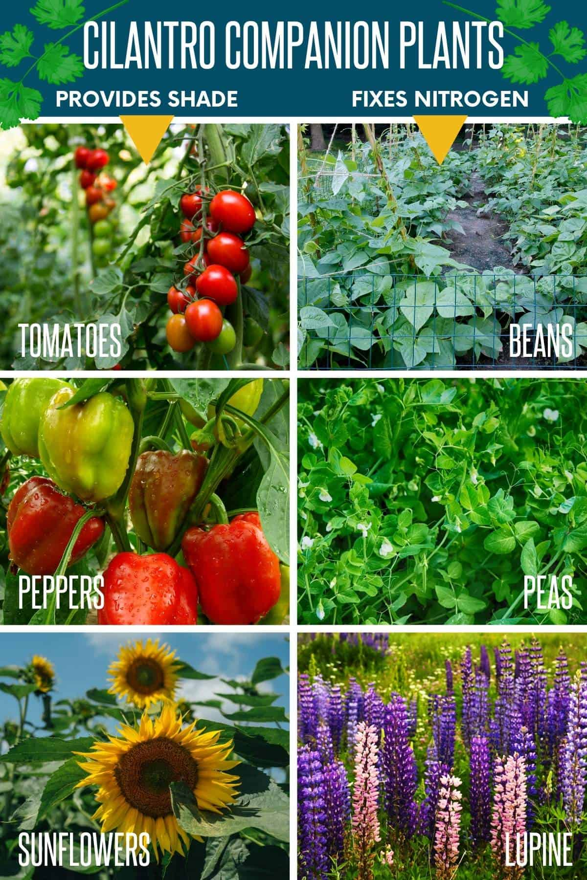 Split image showing various companion plants for cilantro: tomatoes, beans, peppers, peas, sunflowers, and lupine.
