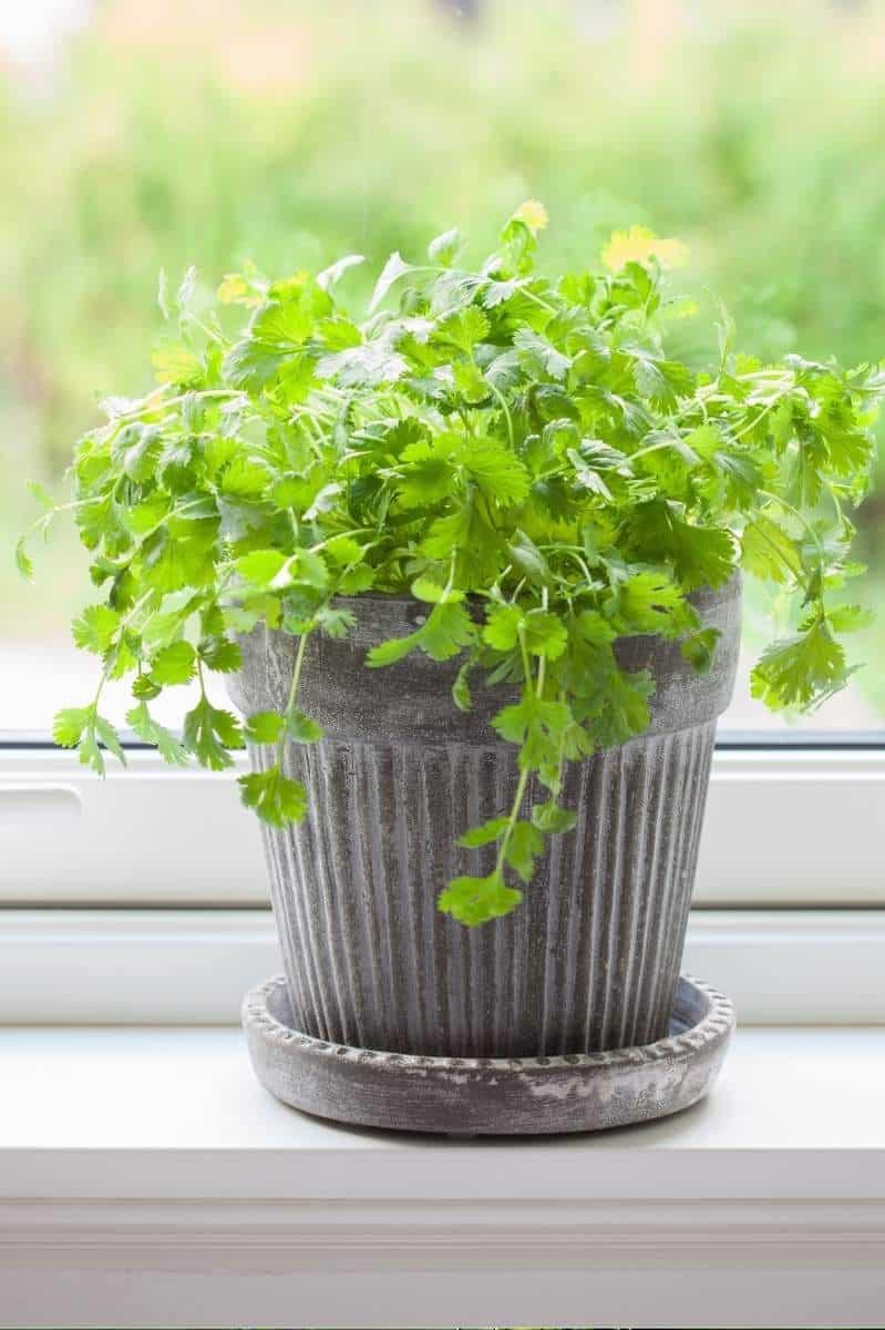 A cilantro plant sits in a grey pot on a windowsill