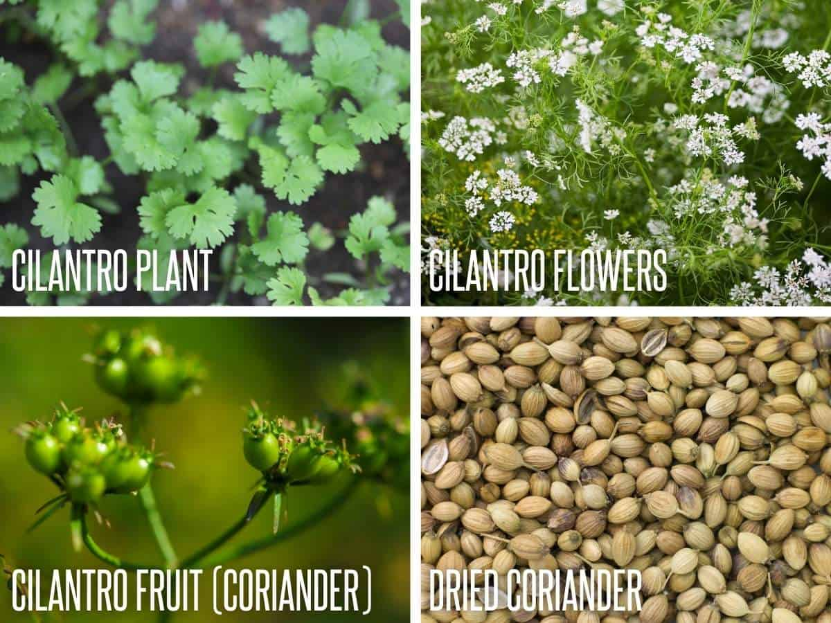 Divided image showing the life cycle of a cilantro plant: the plant, cilantro flowers, cilantro fruit (coriander), and dried coriander