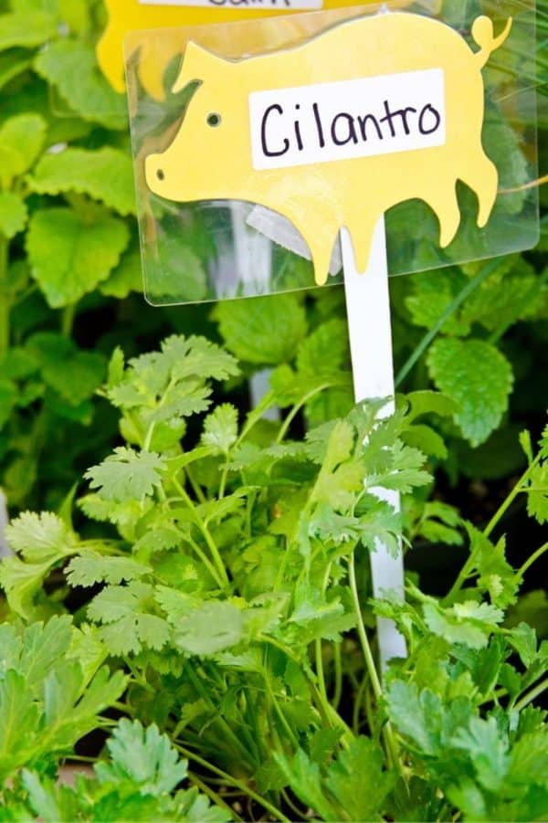"""Cilantro plants in the garden, with a pig-shaped tag that says """"Cilantro"""""""
