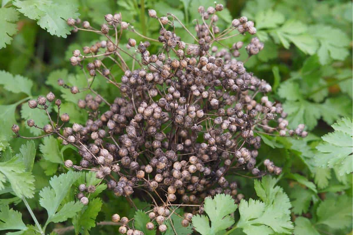A cluster of coriander seeds on the plant