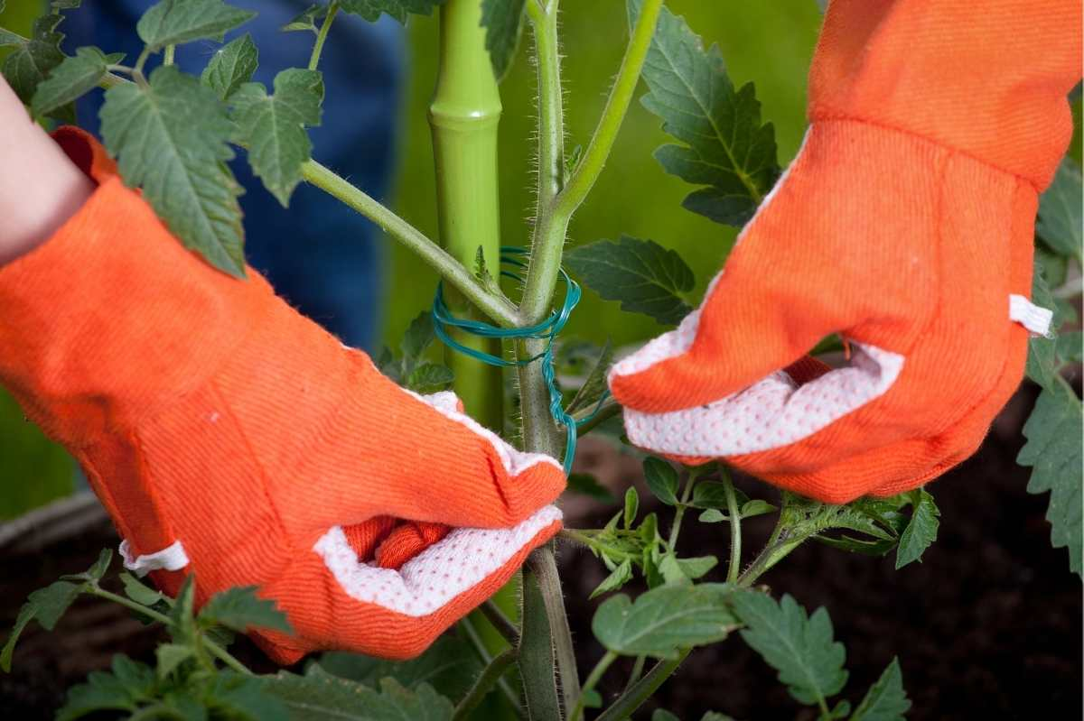Gloved hands tie a tomato plant to a pole.