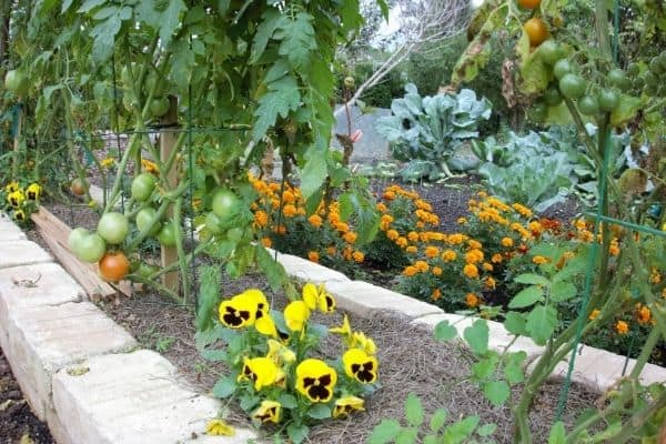 Raised bed garden, companion planted to attract beneficial insects and repel pests