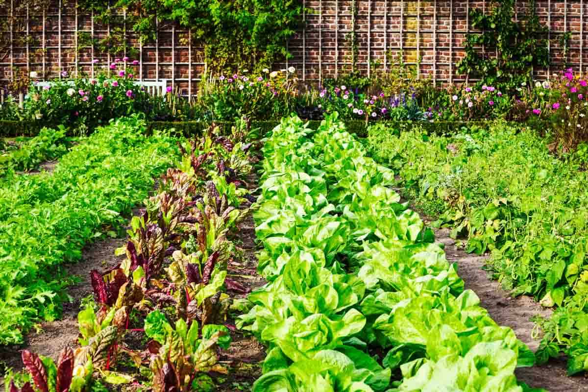 Various types of lettuce grow in rows
