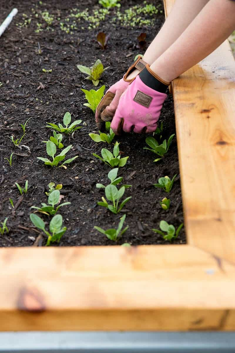Gloved hands tend to baby spinach plants in a raised bed.
