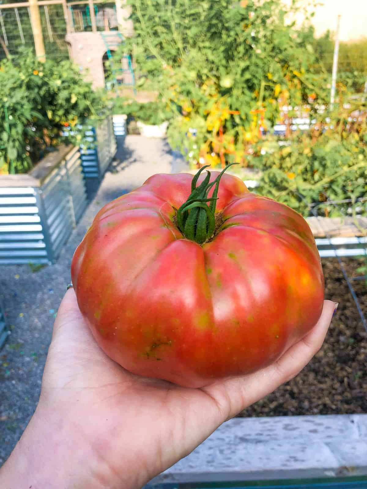 A hand holds a German pink tomato