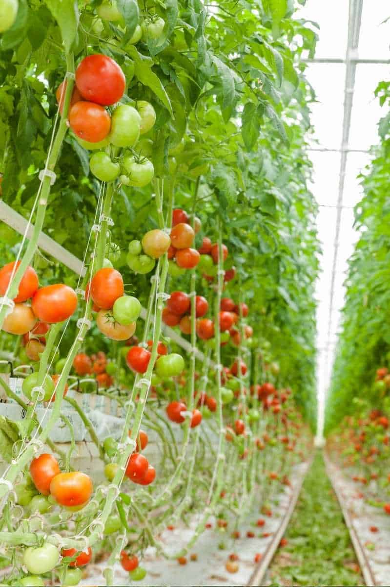 Tomato plants are supported by a string trellis