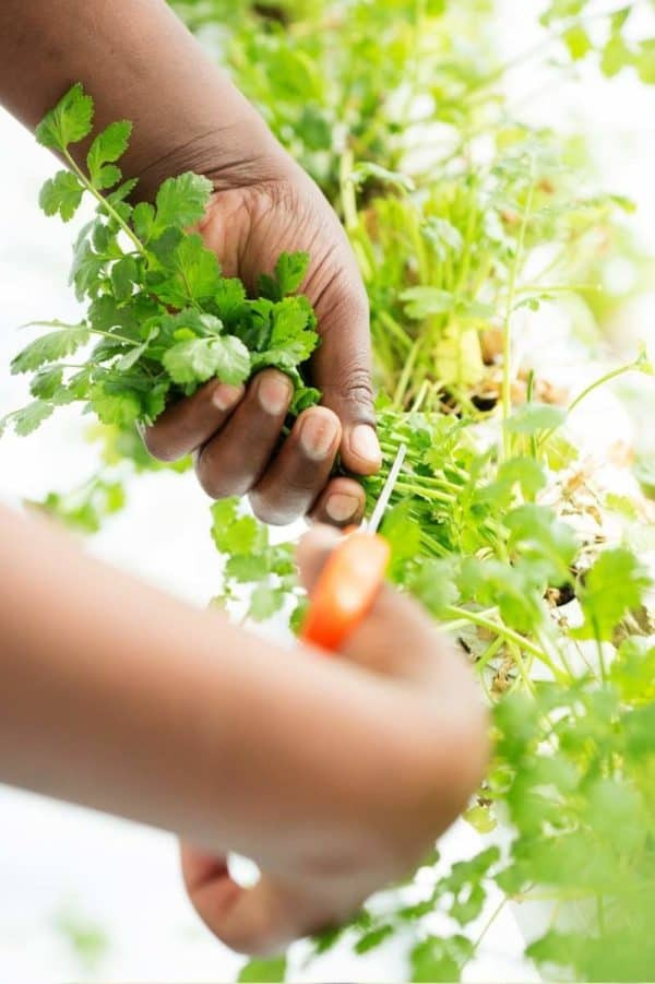One hand holds a cilantro plant steady while another clips the stems.