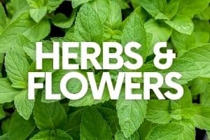 """Peppermint leaves. A text overlay reads """"Herbs & Flowers"""""""
