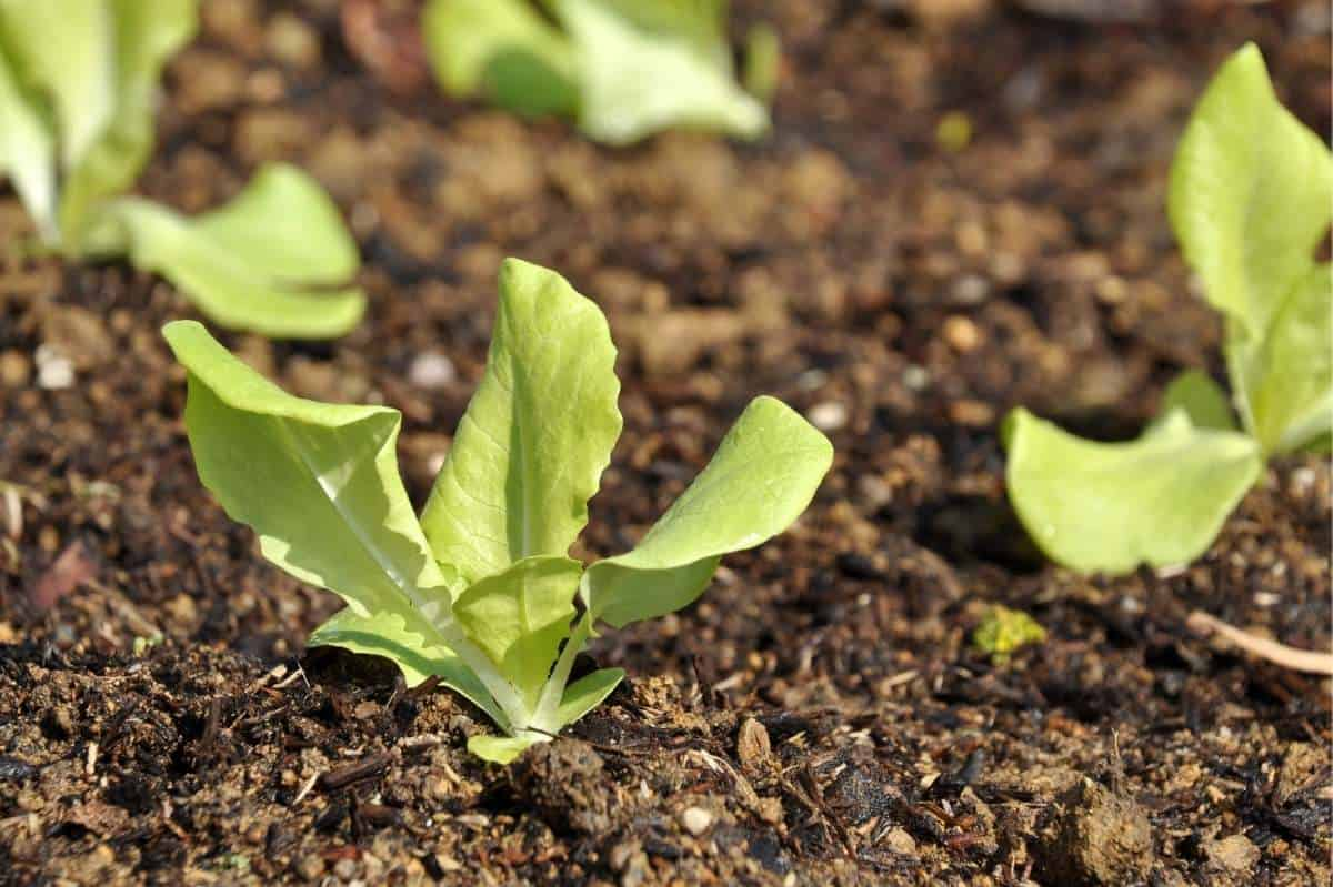 Lettuce seedlings are planted in neat rows