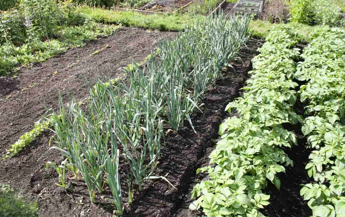 Vegetables grow in neat rows in a garden.