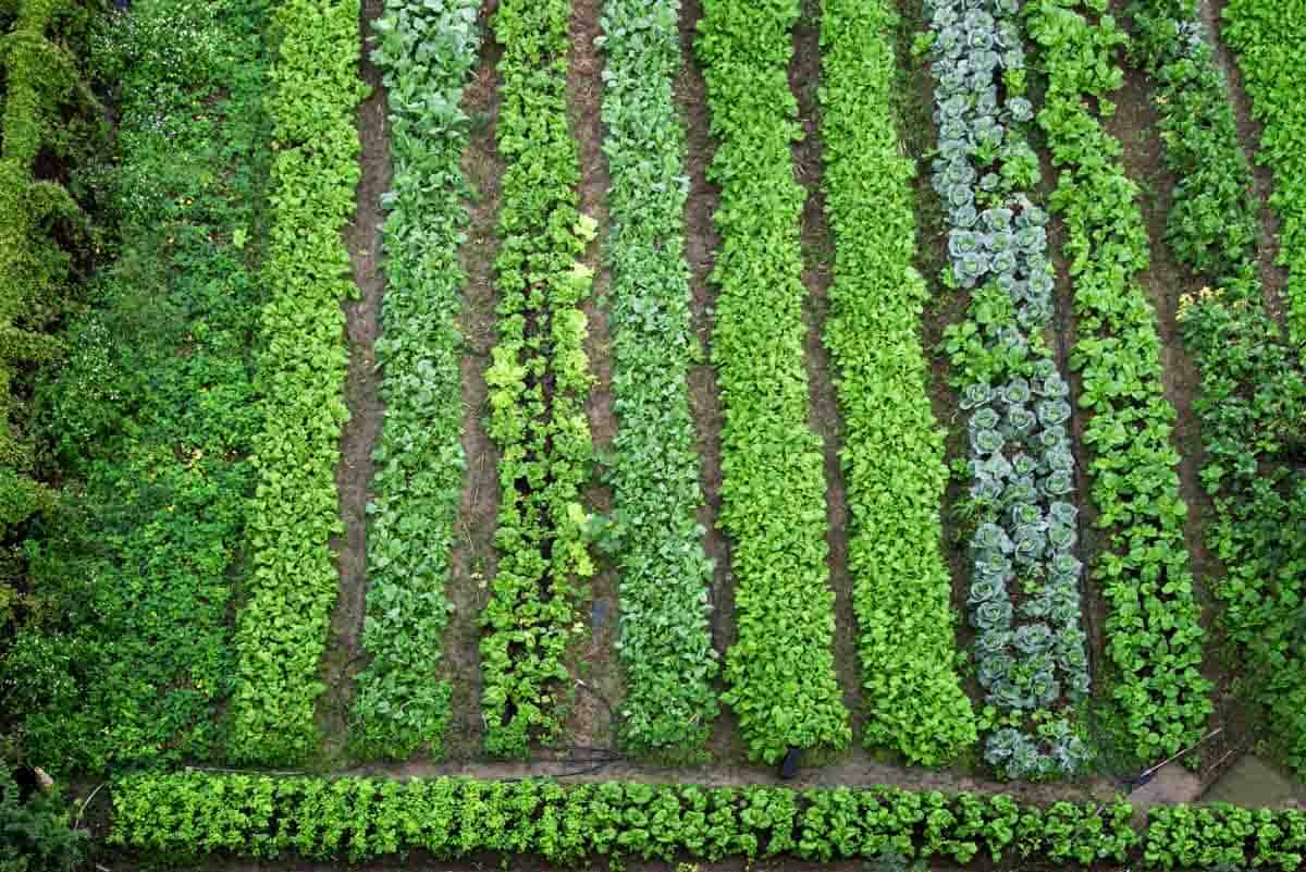 Overhead of vegetables growing in rows.