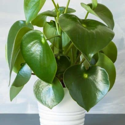 A large peperomia is in a white pot