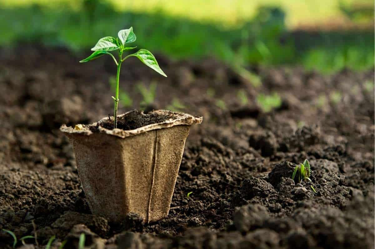 A baby pepper plant in a peat pot sits on top a bed of soil.