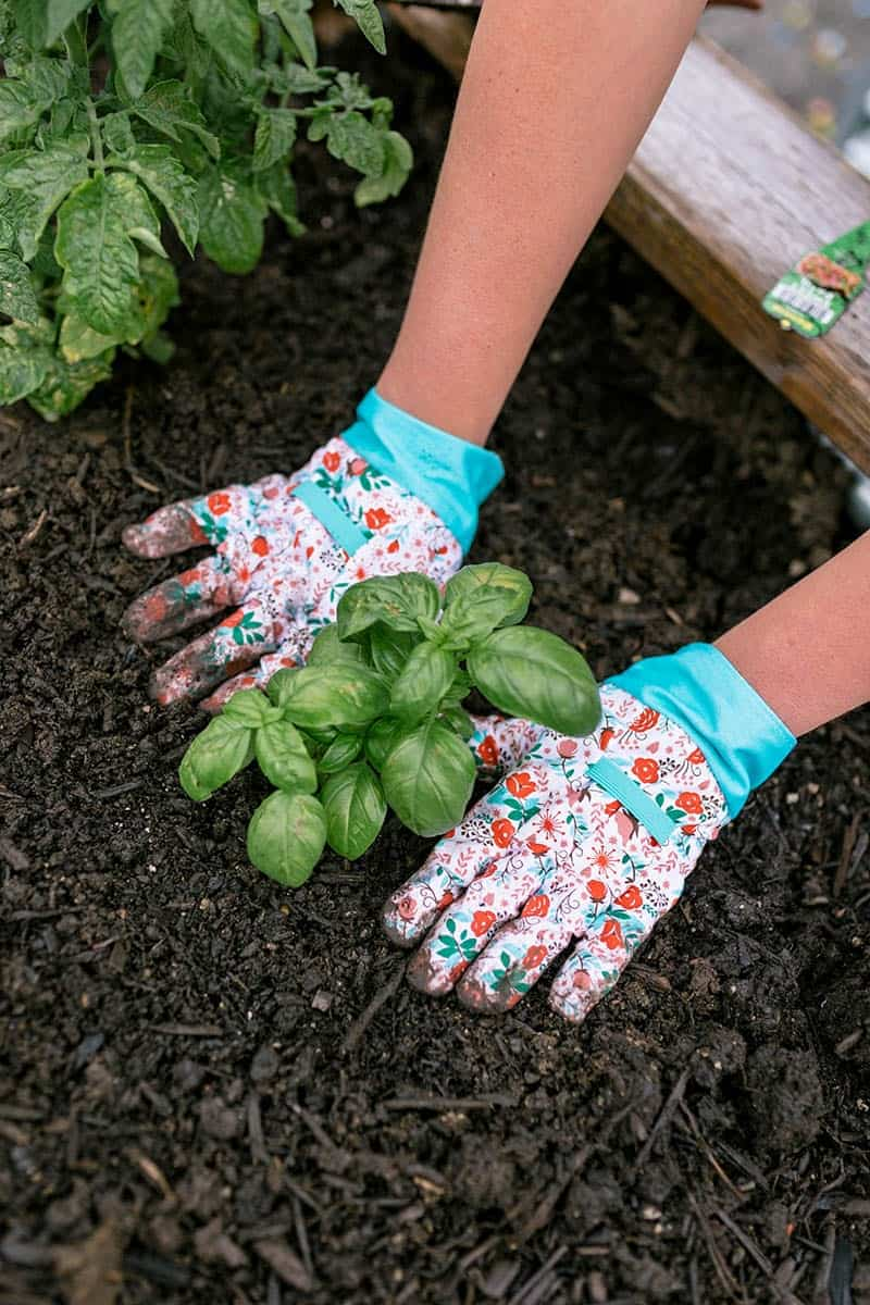 Gloved hands pat down the soil around a basil plant.