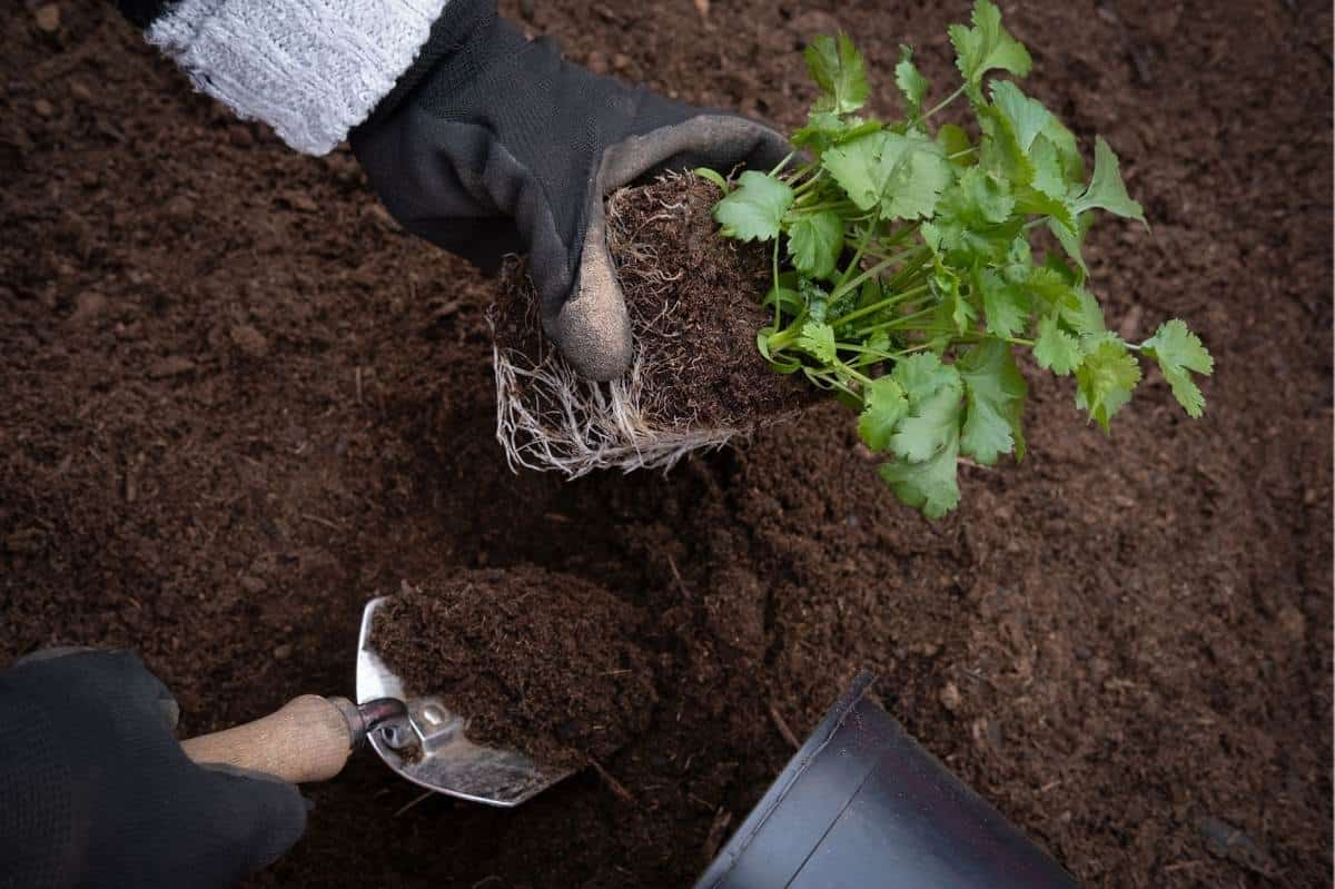 Gloved hands transfer a cilantro seedling to a garden bed.