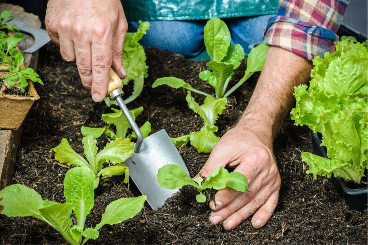 Hands use a trowel to plant lettuce seedlings in the garden.