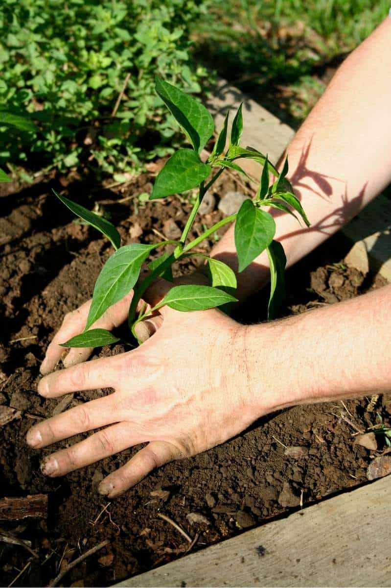Hands pat down the soil around a pepper seedling.