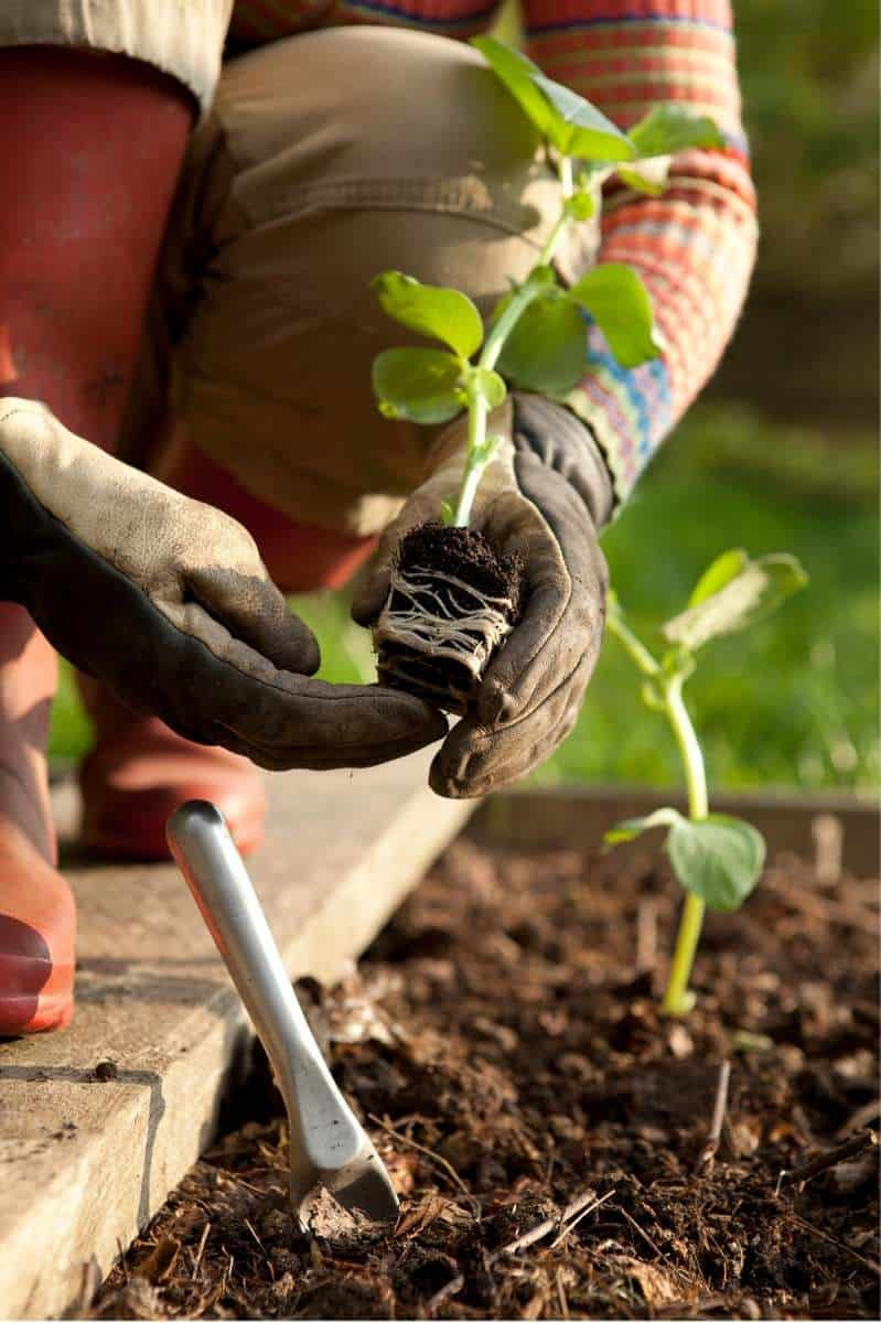 Gloved hands gently loosen the roots on a vegetable seedling.