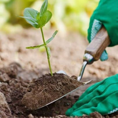 A trowel is used to transplant a seedling into a hole.