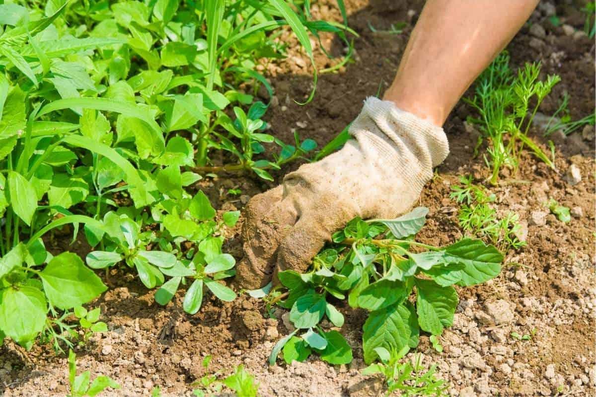 A gloved hand pulls weeds from a vegetable garden as part of regular garden maintenance.