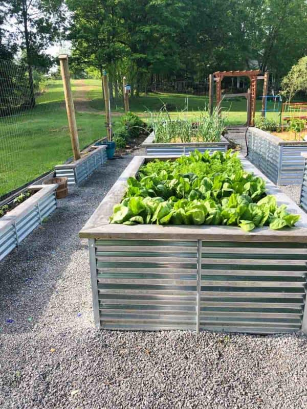 Lettuce plants grow in a raised bed.