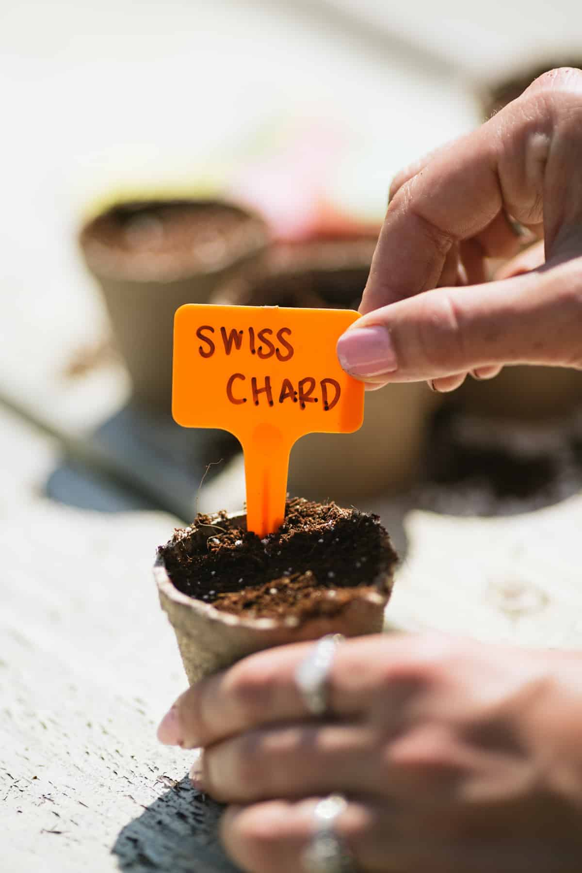 Hands placing a plant marker labeled Swiss Chard into a planted peat pot.