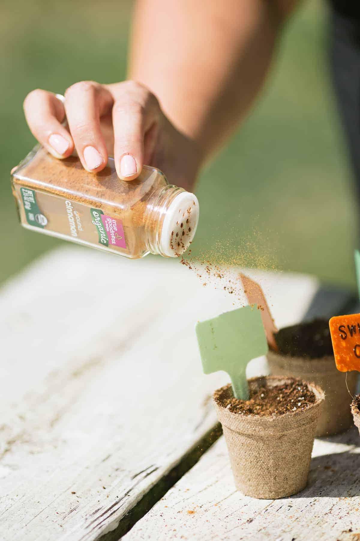 Hand sprinkling cinnamon over planted peat pots